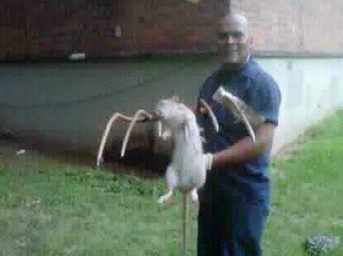 Con chuột dài 90 bị Rivera tiêu diệt | Chuot khong lo