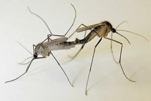 Những điều thú vị về loài muỗi