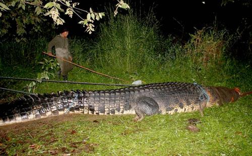 Con cá sấu dài 6,4m, nặng 1.075kg... - Ảnh: AFP