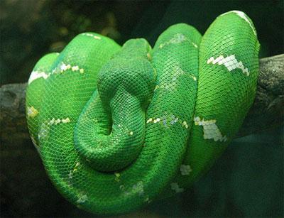 Trăn xanh Amazon