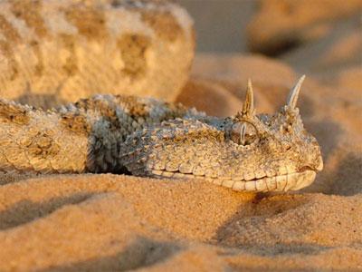 Loài rắn có mào ở Israel