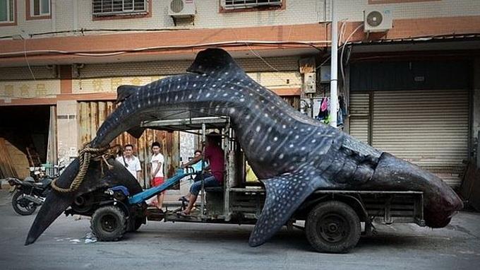Bức ảnh chụp con cá mập voi gây xôn xao mạng xã hội Trung Quốc - Ảnh: Independent