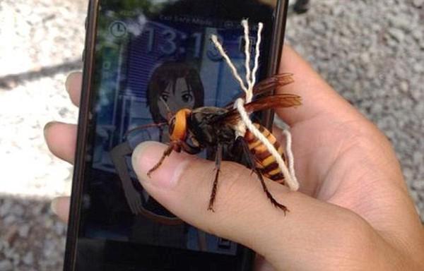 Con ong bắp cày Nhật Bản khổng lồ trở thành thú cưng của user Mikuru625.