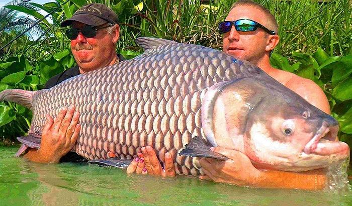 Khi kích thước lớn, chúng tìm ra sông để sống, hoặc ở lại các hồ rộng, nước sâu.