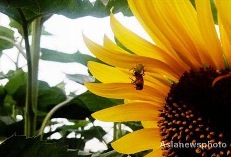Khi được phát hiện, con nhện đang ăn một con ong trên một bông hoa hướng dương.