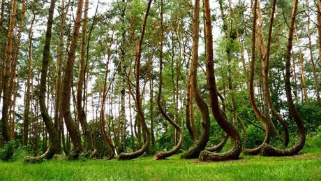 """Người ta đặt tên cho khu rừng này là """"Crooked Forest"""" (Rừng cây cong vẹo)"""