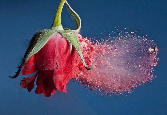 Những mảnh hoa hồng nhỏ xíu nổ tung khi viên đạn bay qua.