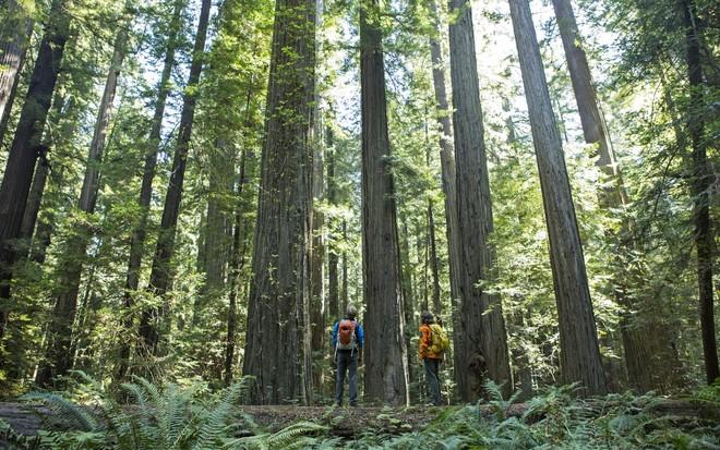 Rừng gỗ đỏ, Mỹ