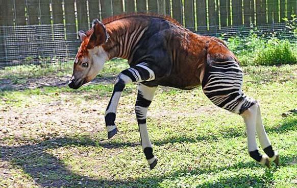 Hươu đùi vằn có hình dáng giống con lừa, với đùi và chân sau có sọc, cổ dài. Đây là loài động vật quý hiếm và có nguy cơ tuyệt chủng.