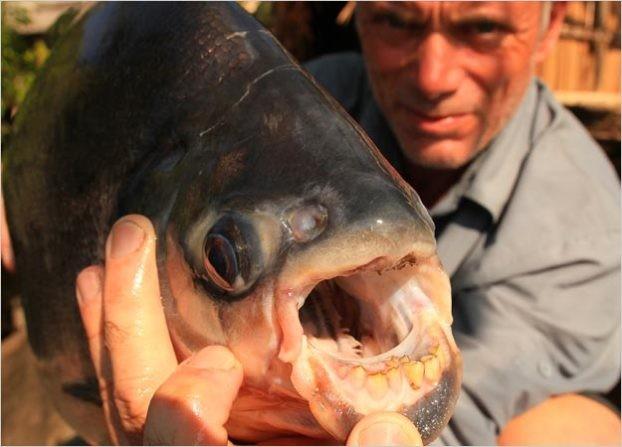 Cá pacu chủ yếu xuất hiện ở Nam Mỹ. Loài cá này có sở thích quái dị là chuyên ăn tinh hoàn người do nhầm lẫn với một loại hạt ưa thích của chún
