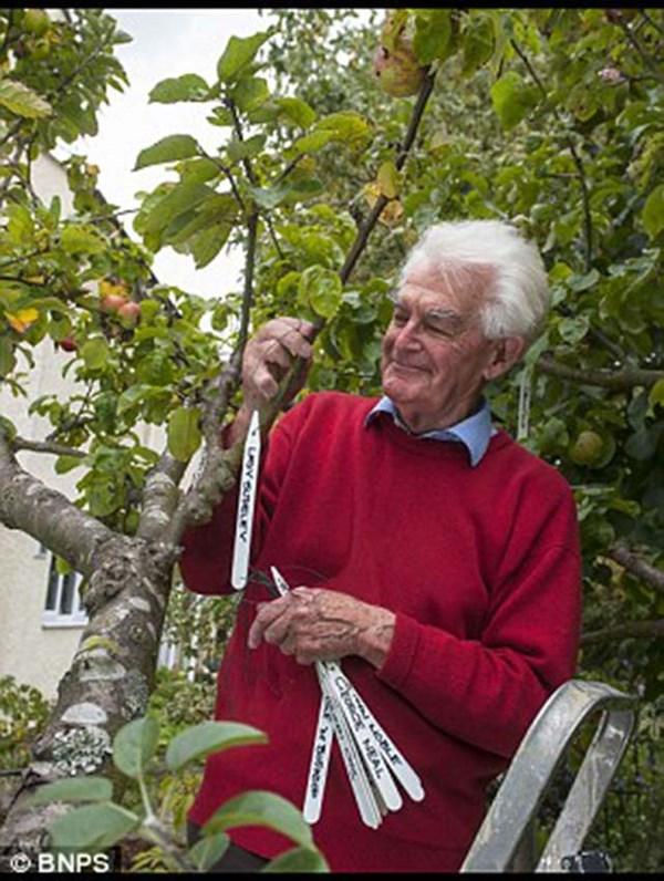 Một người làm vườn ở Anh đã sử dụng phương pháp chiết cành để ghép lai tạo ra 50 giống táo khác nhau trên cùng một thân cây.