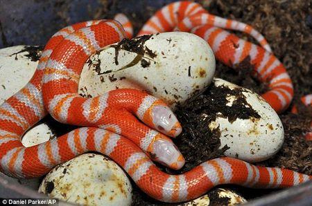 Các nhà sinh vật học tin rằng con rắn sẽ khó sống trong môi trường tự nhiên
