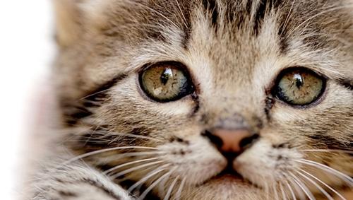 Râu là một trong những bộ phận quan trọng nhất của con mèo. Ảnh: NagyDodo/Shutterstock