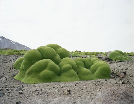 Cây bụi hoa 2.000 tuổi, gồm hàng ngàn nhánh lá nhỏ, dày đặc. Chúng phát triển ở trên cao của sa mạc Atacama, Chile. Cây bụi hoa có họ hàng với mùi tây.