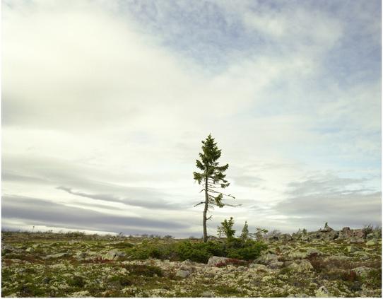 """Cây vân sam Gran Picea 9.950 tuổi là """"bức chân dung"""" của hiện tượng biến đổi khí hậu trên trái đất. Trong khoảng 9.500 năm, các nhánh gần mặt đất tăng trưởng với khối lượng như nhau. Tuy nhiên, thời gian gần đây, phần thân cây khẳng khiu ở trung tâm mới chỉ khoảng 50 năm tuổi do nhiệt độ nóng lên ở cao nguyên Fulufjallet thuộc phía tây Thụy Điển."""
