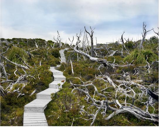Đám cháy đã phá hủy hầu hết những cây thông Huon 10.500 tuổi trên núi Read ở Tasmania. Chỉ một số ít cá thể vẫn tồn tại.