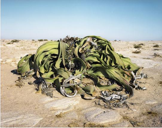Cây lá kim nguyên thủy Welwitschia 2.000 năm tuổi sống tại sa mạc Namib-Naukluft của Namibia. Loài cây này chỉ tồn tại ở bờ biển Namibia và Angola. Welwitschia chỉ có hai lá đơn và không bao giờ rụng.