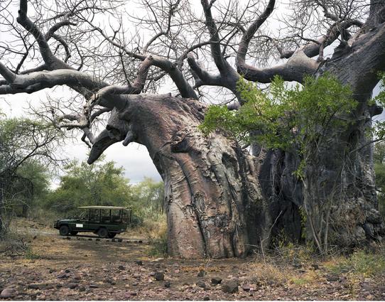 Cây Baobab 2.000 năm tuổi sống ở khu bảo tồn quốc gia Kruger tại Nam Phi. Hốc cây thường trống rỗng khi trưởng thành. Chúng trở thành nơi trú ẩn cho nhiều loài động vật. Thậm chí con người còn biến hốc cây Baobab  thành nhà vệ sinh, nhà tù hay một quán bar.