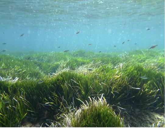Bãi cỏ biển Posidonia 100.000 năm tuổi sống ở quần đảo Baleric, Tây Ban Nha. Chúng đang phát triển trong vùng nước do UNESCO bảo vệ giữa các đảo Ibiza và Formentera.