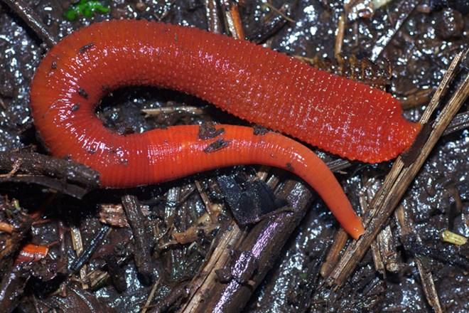 Đỉa đỏ Kinabalu có chiều dài lên tới 30cm, thậm chí 40cm. Bất cứ ai gặp chúng đều vô cùng khiếp sợ, ám ảnh.