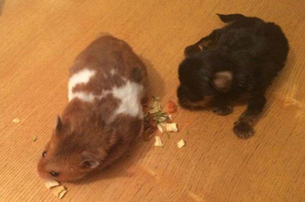 Cận cảnh chó nhỏ nhất thế giới, chưa bằng 1 con chuột