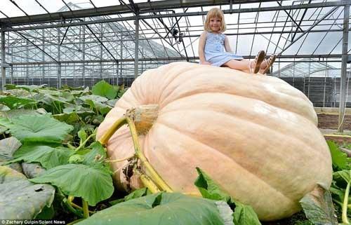 Cô bé ngồi trên quả bí ngô khổng lồ tạo dáng đáng yêu.Quả bí ngô năng 675kg.