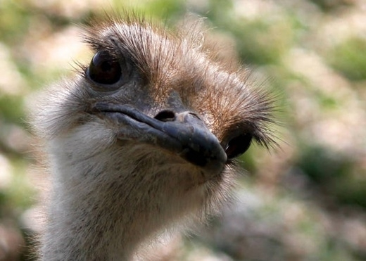 Não của loài chim đà điểu bằng với kích thước mắt của nó