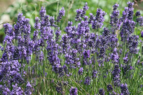 6. Cây oải hương: Không chỉ là loại hoa màu tím tuyệt đẹp, oải hương còn là một trong những phương pháp chống muỗi tự nhiên nhất. Mùi hương của nó vô cùng quyến rũ nhưng lại không được muỗi và một số loài côn trùng ưa thích. Hoa oải hương vừa là cây trang trí tuyệt vời, vừa có mùi hương dễ chịu có tác dụng làm thư giãn thần kinh. Hãy trồng một số chậu oải hương quanh nhà, trên cửa sổ đầy nắng, bạn còn có thể phơi khô hoa oải hương để dùng làm trà thảo dược thơm ngon. Ảnh: Blogspot.