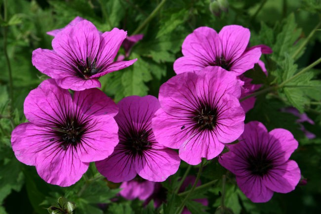 10. Cây phong lữ: Phong lữ là loài cây cho hoa đẹp và có mùi thơm quyến rũ, nhưng lại là khắc tinh của muỗi và côn trùng. Một vài chậu hoa phọng lữ sẽ giúp trang trí nhà cửa và bảo vệ cả gia đình bạn khỏi sự tấn công của muỗi. Ảnh: Wikipedia.