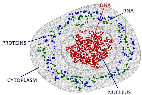 DNA là một phân tử nucleic acid mang thông tin di truyền mã hóa cho hoạt động sinh trưởng và phát triển của các dạng sống bao gồm cả virus