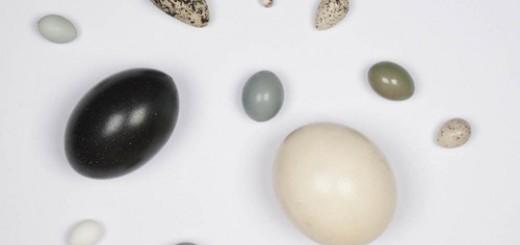Bộ sưu tập vỏ trứng tại Bảo tàng Lịch sử Tự nhiên Mỹ. Ảnh: AMNH/C.Chesek