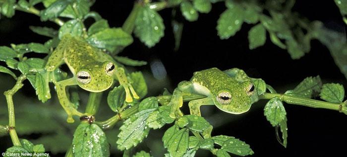Một cặp ếch kính trú ẩn trong tán lá ở Công viên quốc gia Manu, Peru.