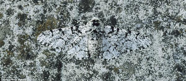 Con Peppered Moth này đã tìm thấy nơi ẩn náo hoàn hảo trên tảng đá
