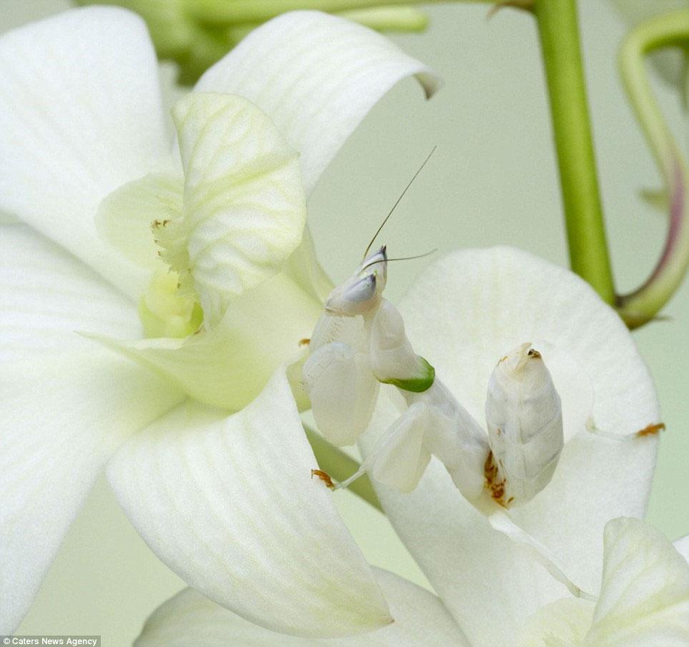 Một con bọ ngựa Orchid Mantis ẩn mình giữa những cánh hoa