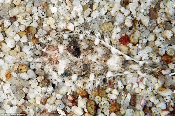 Một con Sanddab Speckled trà trộn hoàn hảo vào đám sỏi dưới đáy đại dương