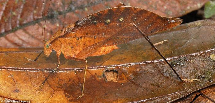 Châu chấu Leaf Katydid trông giống như chiếc lá khô tại khu dự trữ San Cipriano, Colombia