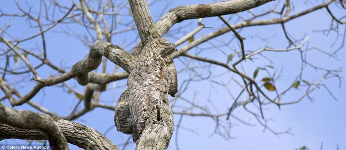 Chim potoo ở Brazil cũng biết lẩn trốn khỏi kẻ thù bằng cách ngụy trang giống như những thân cây trụi lá