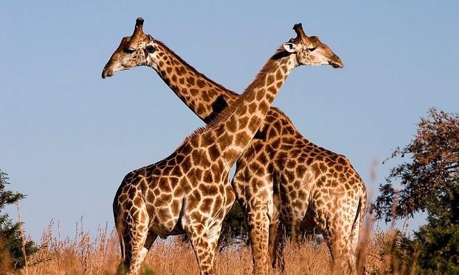 Hươu cao cổ có thể vệ sinh tai nhờ chiếc lưỡi dài 50 cm