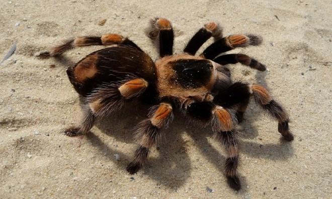 Giống như một số loài động vật, nhện Tarantula lột xác khi trưởng thành