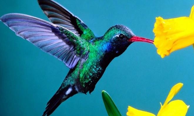 Chim ruồi, một giống chim cực nhỏ thuộc họ Trochilidae, là loài chim duy nhất có khả năng bay ngược