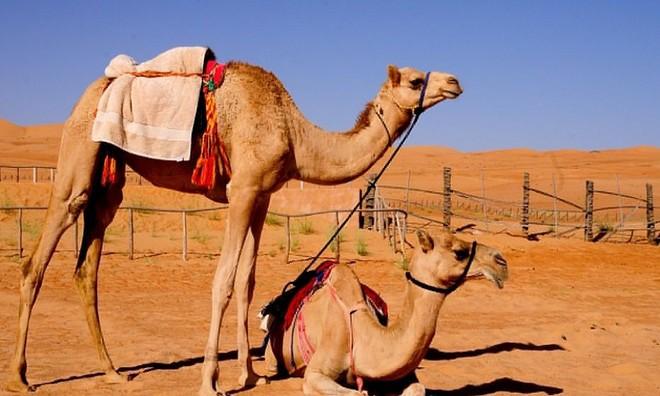 Để bảo vệ bản thân khỏi cát sa mạc, lạc đà có ba mí mắt