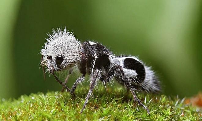 Loài côn trùng này thực ra không phải là kiến mà là những con ong bắp cày thuộc họ Mutillidae.