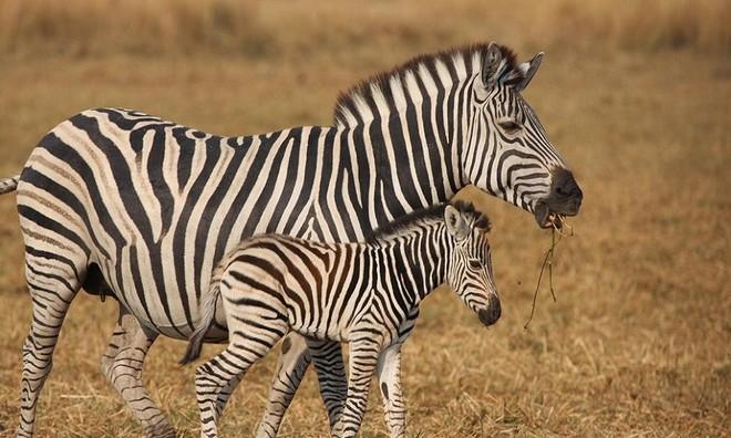 Tương tự dấu vân tay ở con người, không con ngựa vằn nào có chung mẫu sọc kẻ