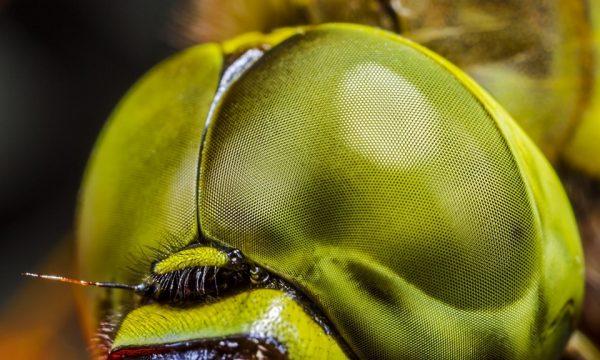 Côn trùng có rất nhiều mắt nhưng không phải mỗi mắt là một mắt