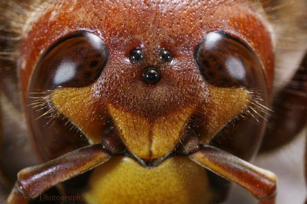 3 mắt đơn trên đầu ong bắp cày. Ảnh: Warrenphotographic.co.uk