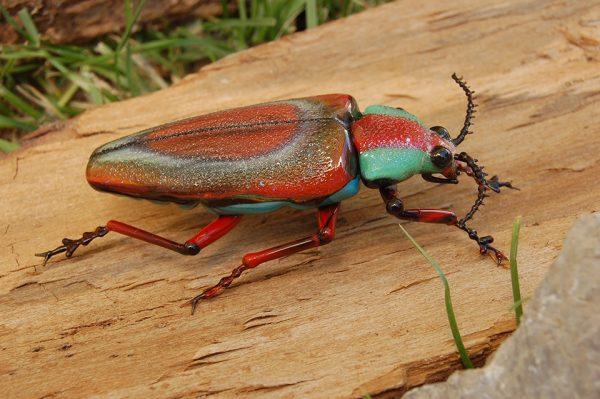 Bọ kim cương Buprestidae.Ảnh: Vittorio Costantini.