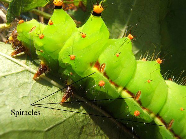 Vị trí lỗ thở trên sâu bướm Ấn Độ. Ảnh: Wikipedia