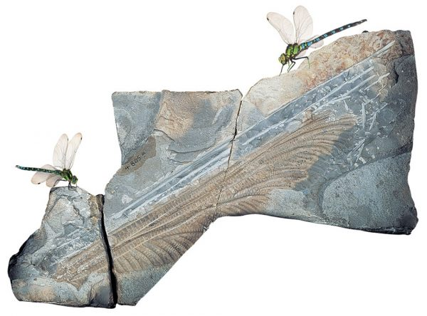 Cánh chuồn chuồn cổ đại Meganeuropsis - Ảnh: Harvardmagazine.com