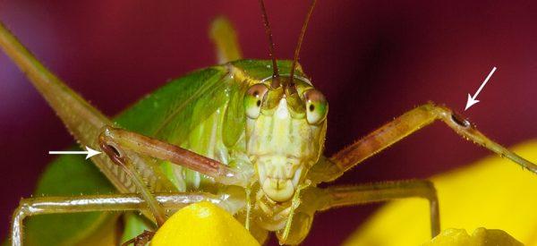 bộ cánh gân Neuroptera có tai đặt trên các cánh.