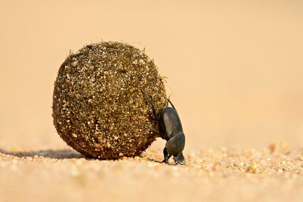 24/06/2007, Maasai Mara, Kenya --- Dung beetle pushing a ball of dung, Masai Mara National Reserve, Kenya, East Africa, Africa --- Image by © James Hager/Robert Harding World Imagery/Corbis 42-21114429